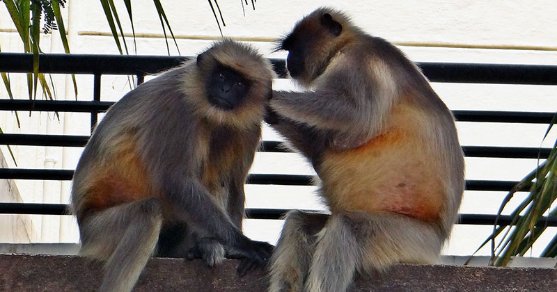 Monkeys scratching each other's backs